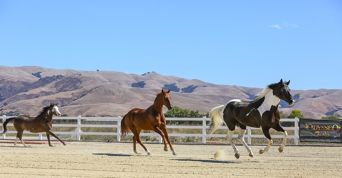Odysseo's 65 horses are enjoying the sun in California