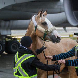 Our 65 Odysseo Horses at Vancouver Airport