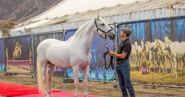 1 - Cavalia Odysseo - Ventura County - Horse arrival - Sacha, rider and Farol, Spanish Purebred